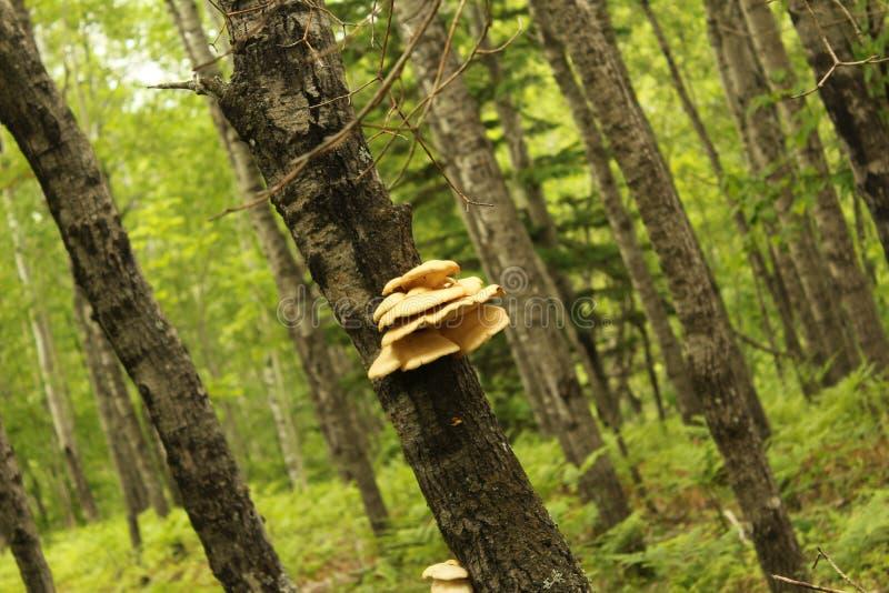 Groupe de champignons d'étagère sur le tronc d'arbre photos libres de droits