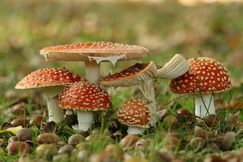Groupe de champignons de couche d'agaric de mouche images stock