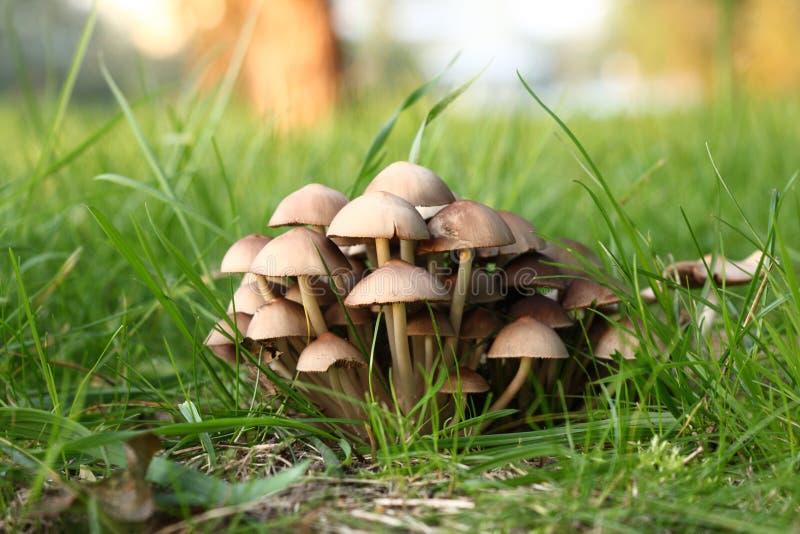Groupe de champignons de couche toxiques dans une herbe image stock