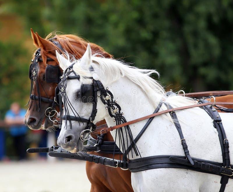 Groupe de chevaux remorquant un chariot images libres de droits