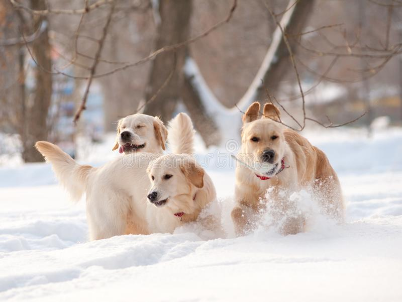 Groupe de chiens de golden retriever en hiver images libres de droits