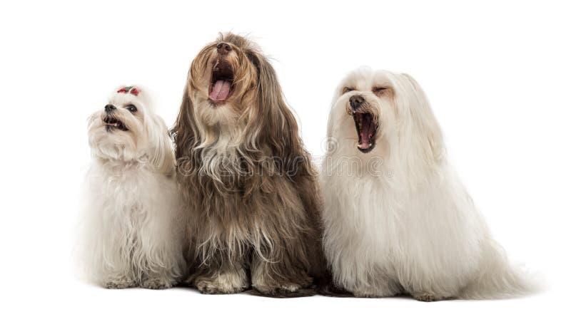 Groupe de chiens maltais, baîllement, se reposant dans une rangée photographie stock libre de droits