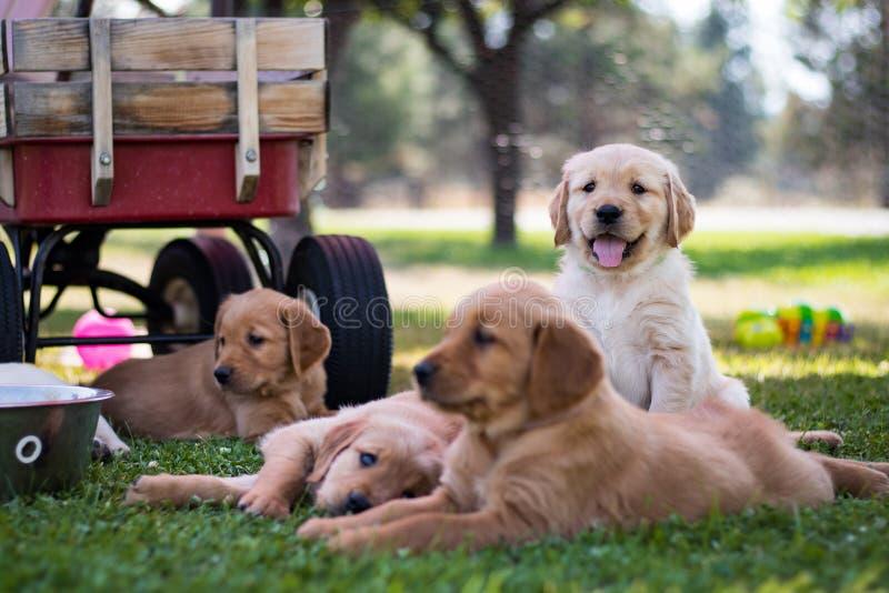 Groupe de chiots de golden retriever photographie stock libre de droits