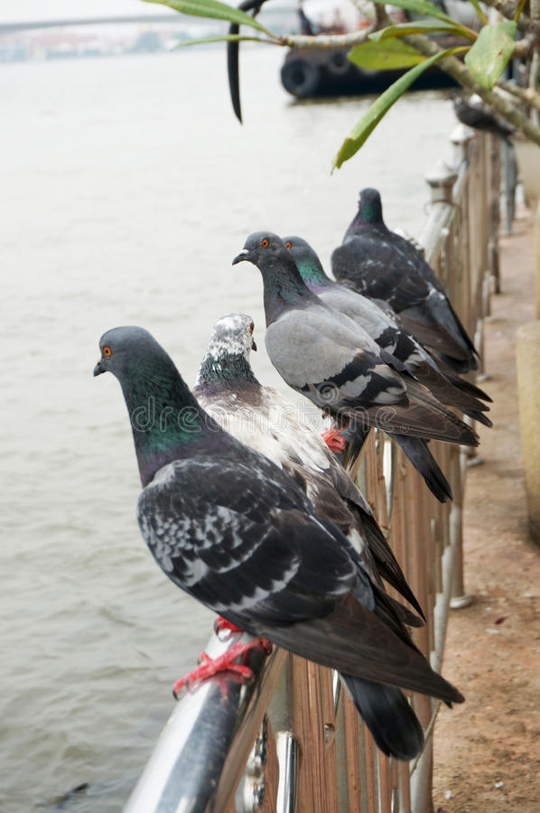 Groupe de colombes sur la balustrade image stock