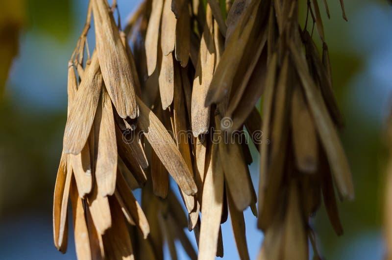 Groupe de cosses sèches de graine pendant d'Autumn Tree image stock