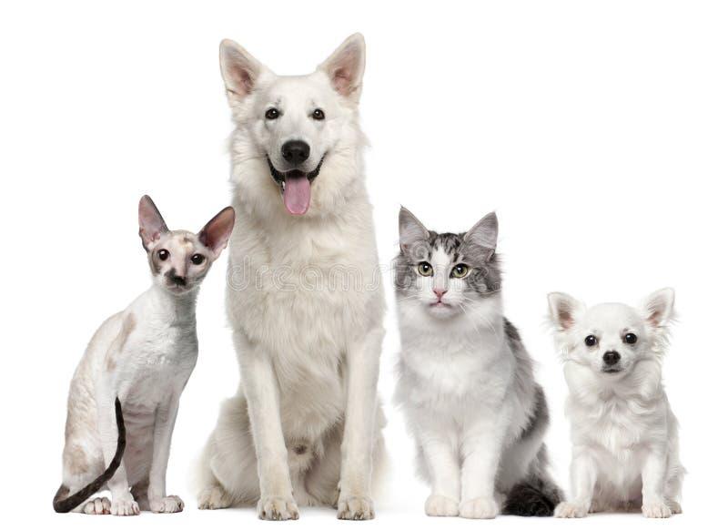 Groupe de crabots et de chats se reposant devant le blanc image libre de droits