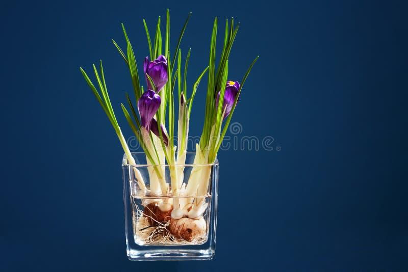 Groupe de crocus dans un vase transparent photographie stock