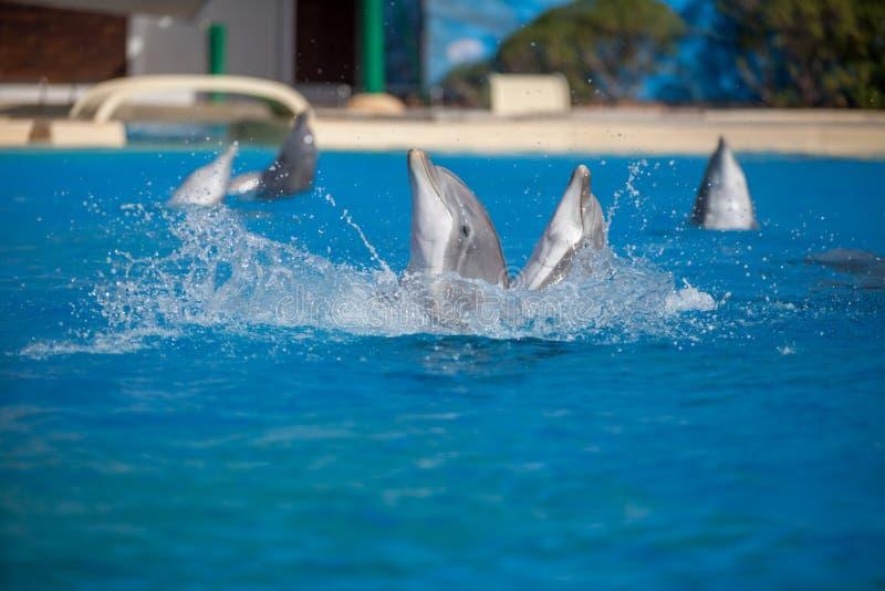 Groupe de dauphins nageant et jouant photo stock