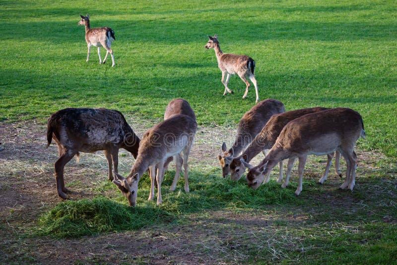 Groupe de famille de cerfs communs frôlant mangeant le pré de alimentation d'herbe verte image libre de droits
