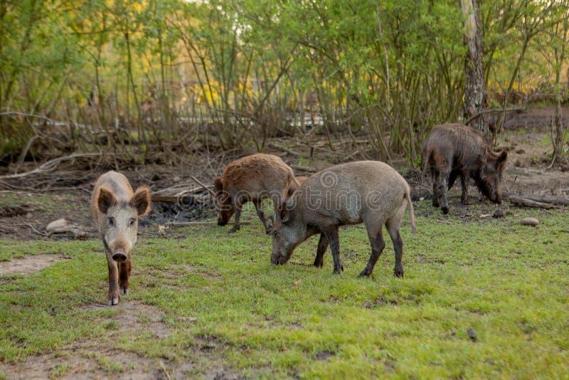 Groupe de famille de sanglier frôlant mangeant de la nourriture d'herbe ensemble image libre de droits