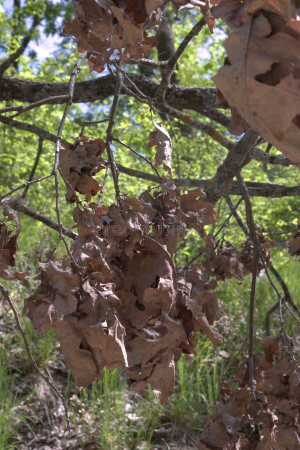 Groupe de feuillage de chêne Sec et déformé sur la branche moussue photographie stock