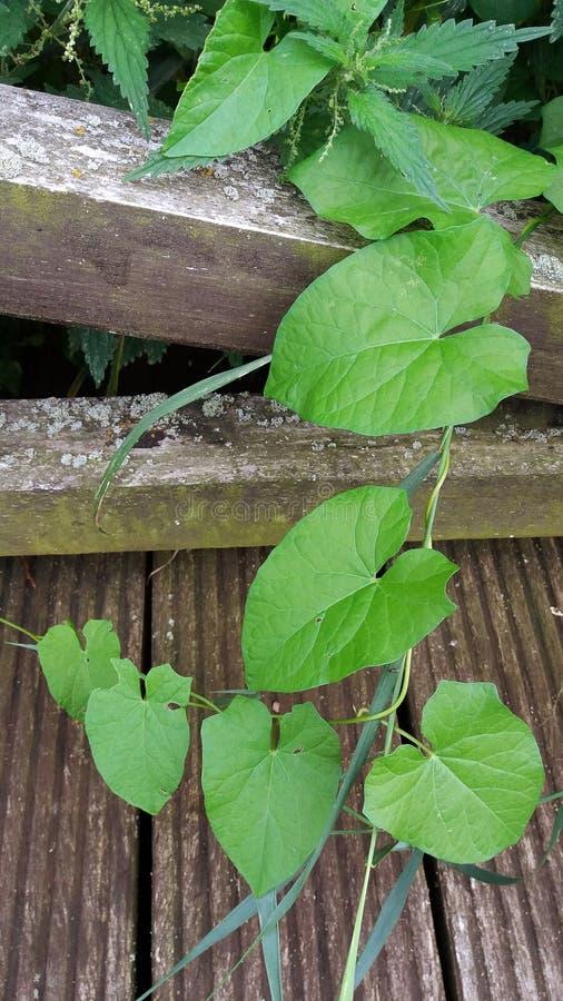 Groupe de feuilles et d'orties de convolvule tombant sur une passerelle en bois photos stock