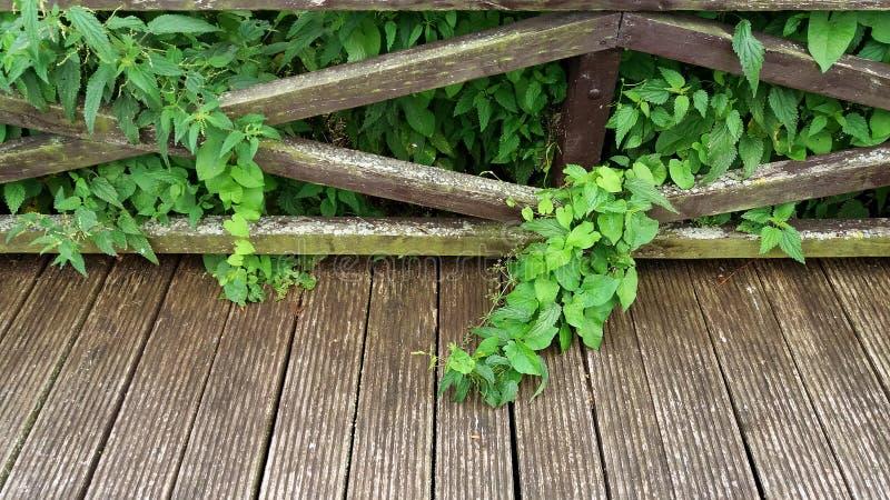 Groupe de feuilles et d'orties de convolvule tombant sur une passerelle en bois photographie stock libre de droits