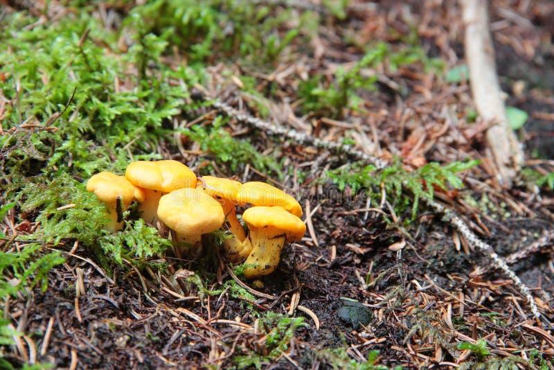 Groupe de finferli et de x28 ; galletti& x29 ; champignons trouvés dans la forêt photographie stock