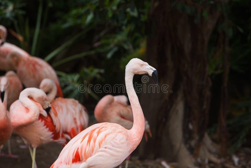 Groupe de flamants roses dans son environnement naturel image libre de droits