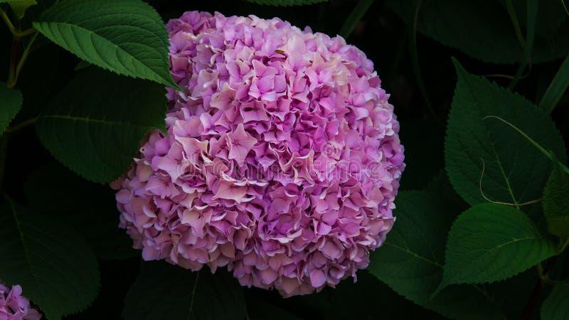 Groupe de fleurs d'hortensia images stock