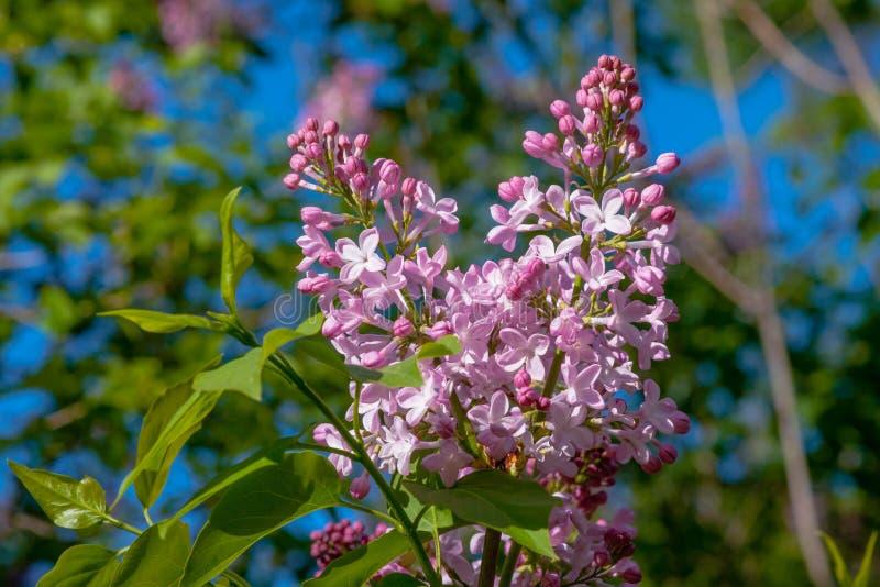 Groupe de fleurs lilas photographie stock libre de droits