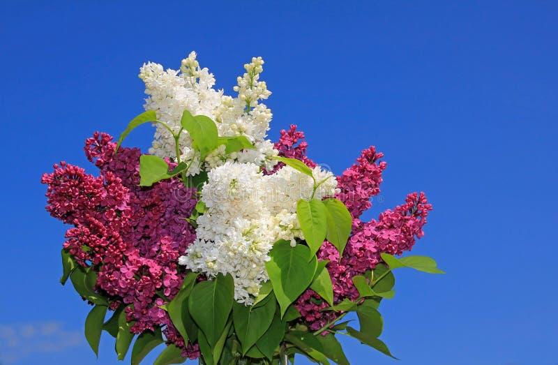 Groupe de fleurs lilas pourpres et blanches, contre b image libre de droits