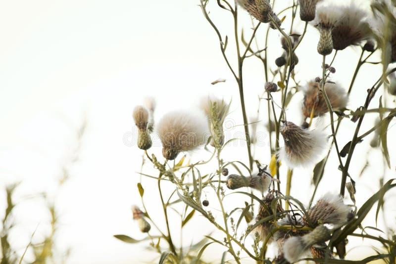 Groupe de fleurs pelucheuses de chardon dans le vent contre le ciel blanc léger photographie stock