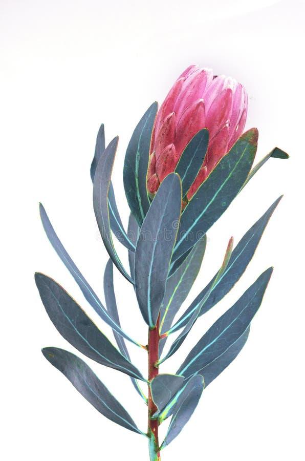 Groupe de fleurs de Protea Le Roi rose de floraison Protea Plant au-dessus du fond blanc Plan rapproch? extr?me Cadeau, bouquet,  images stock