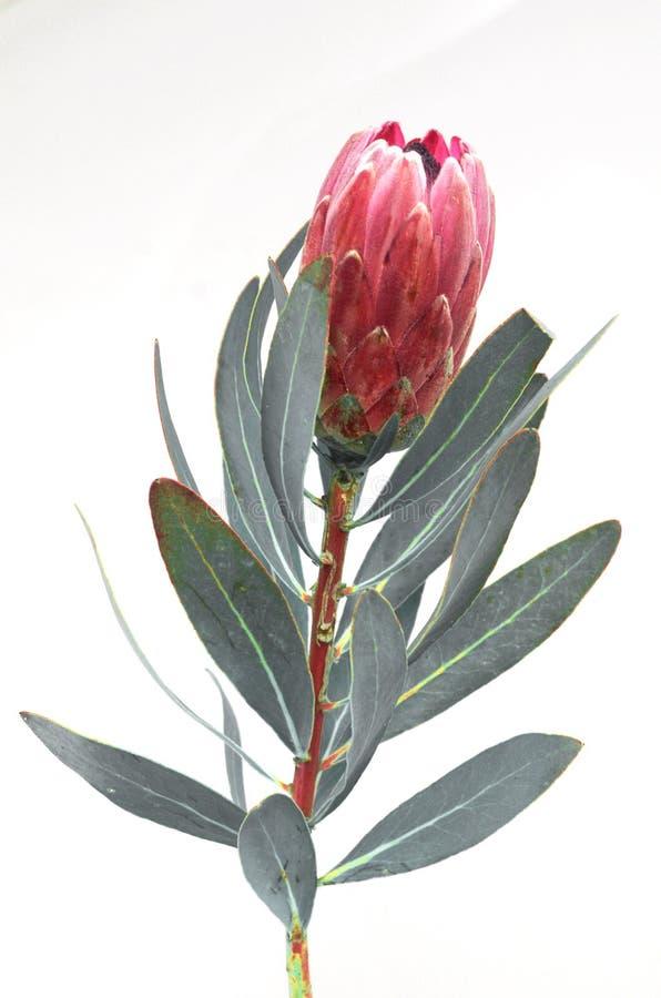 Groupe de fleurs de Protea Le Roi rose de floraison Protea Plant au-dessus du fond blanc Plan rapproch? extr?me Cadeau, bouquet,  photos libres de droits