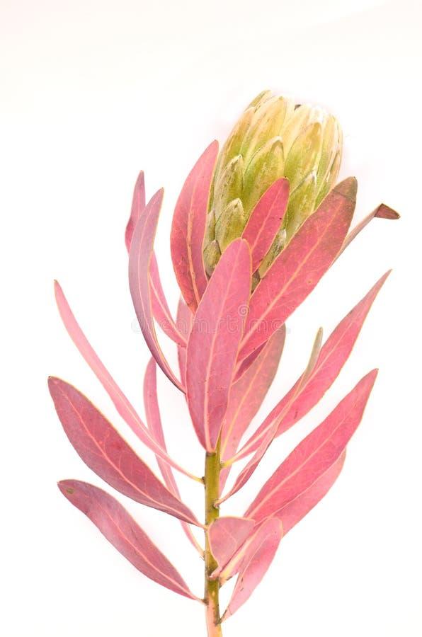 Groupe de fleurs de Protea Le Roi vert de floraison Protea Plant au-dessus du fond blanc Plan rapproch? extr?me Cadeau, bouquet,  photo stock