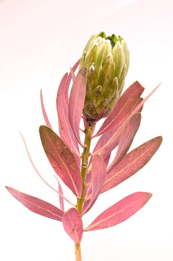 Groupe de fleurs de Protea Le Roi vert de floraison Protea Plant au-dessus du fond blanc Plan rapproch? extr?me Cadeau, bouquet,  photo libre de droits
