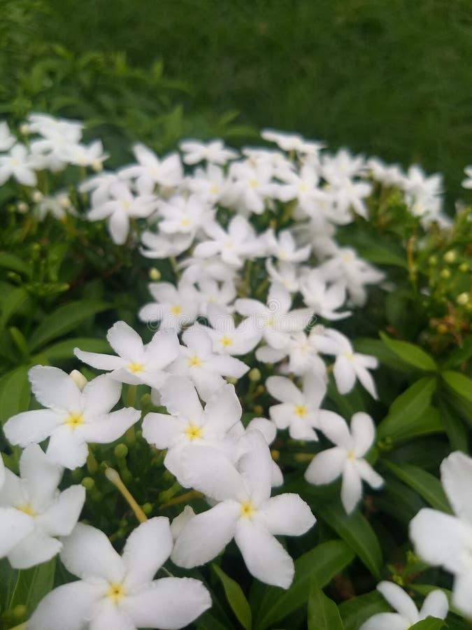 Groupe de fleurs de tagari dans le jardin avec le fond vert bleu photo libre de droits