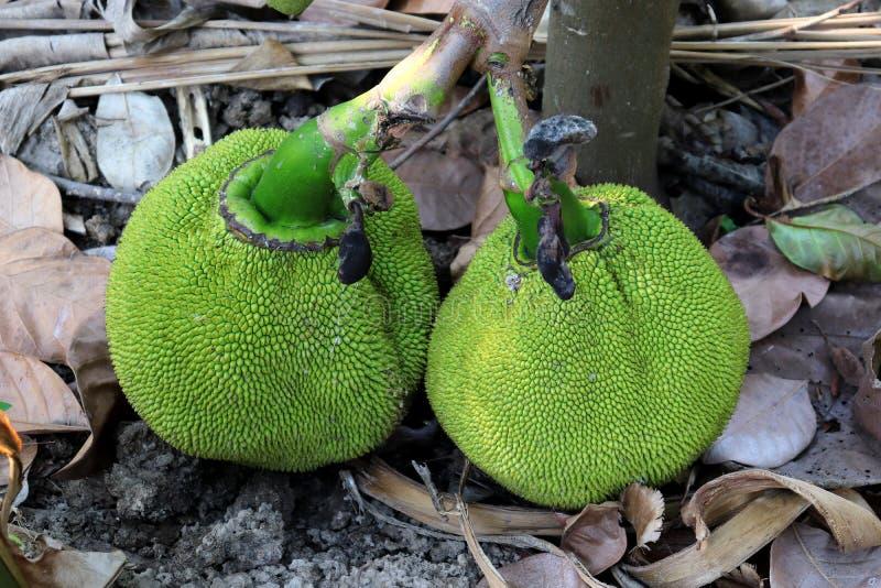Groupe de fruit vert de cric avec l'arbre sur la terre photo libre de droits
