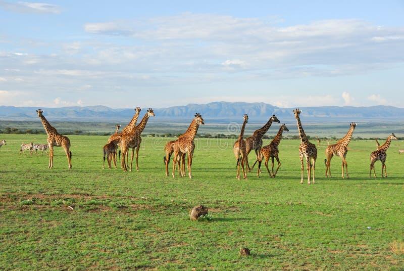 Groupe de giraffe images libres de droits