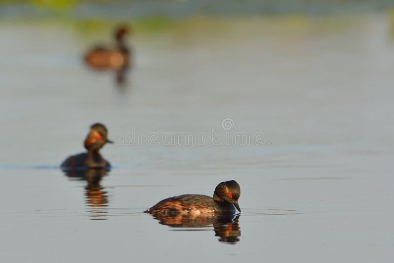 Groupe de grèbes étranglés noirs sur l'eau photos stock