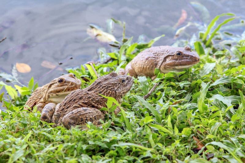 Groupe de grenouilles de marais sur un pré le long du lac photos libres de droits
