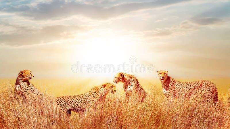 Groupe de guépards dans la savane africaine Contre le beau ciel La Tanzanie, parc national de Serengeti photo stock