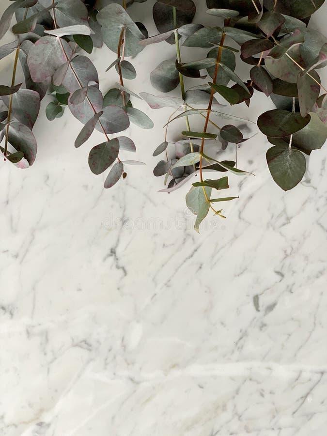 Groupe de gunni frais d'eucaliptus de verdure d'Isra?l sur le fond de table de marbre, vue sup?rieure images libres de droits
