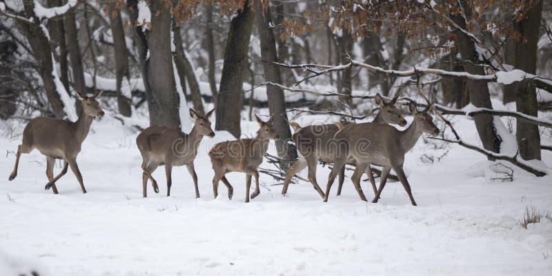 Groupe de hinds sur la femelle de cerfs communs rouges de neige images stock