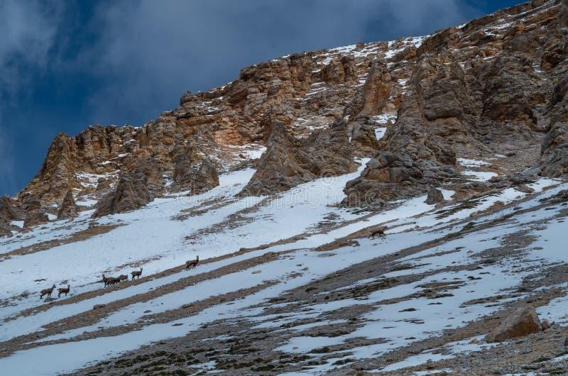 Groupe de jeune chèvre de montagne en dolomites de printemps, Italie photo stock