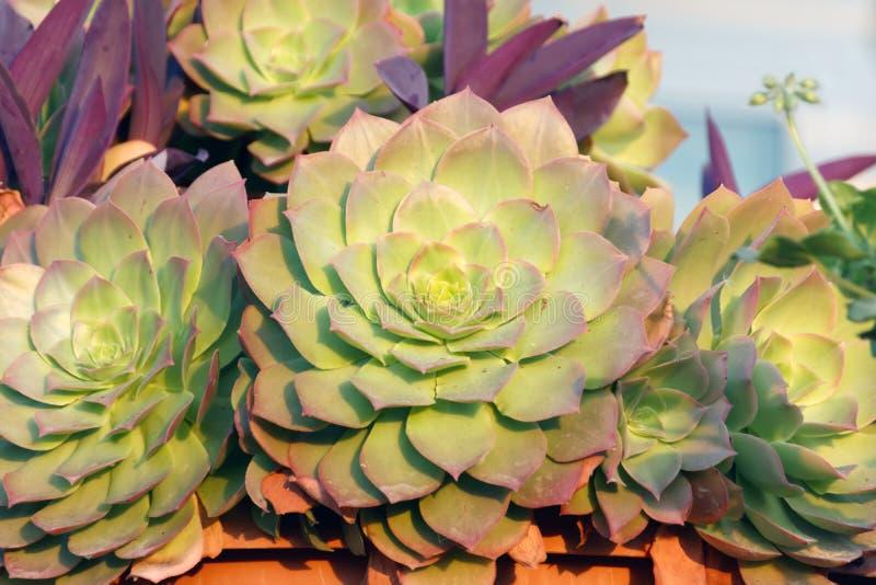 Groupe de kiwi d'Aeonium de succulents photo stock