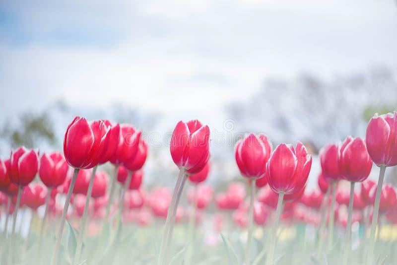 Groupe de la belle tulipe rouge dans un jour ensoleillé, ciel bleu en Osaka Japan La tulipe rouge de fleur allumée par lumière image stock
