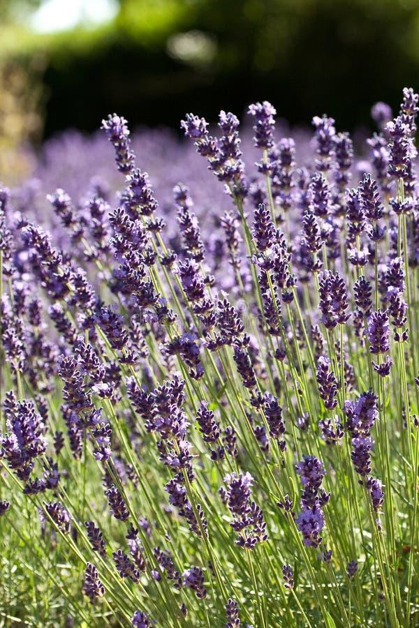 Download Groupe de lavande image stock. Image du fleur, lilas - 45352287