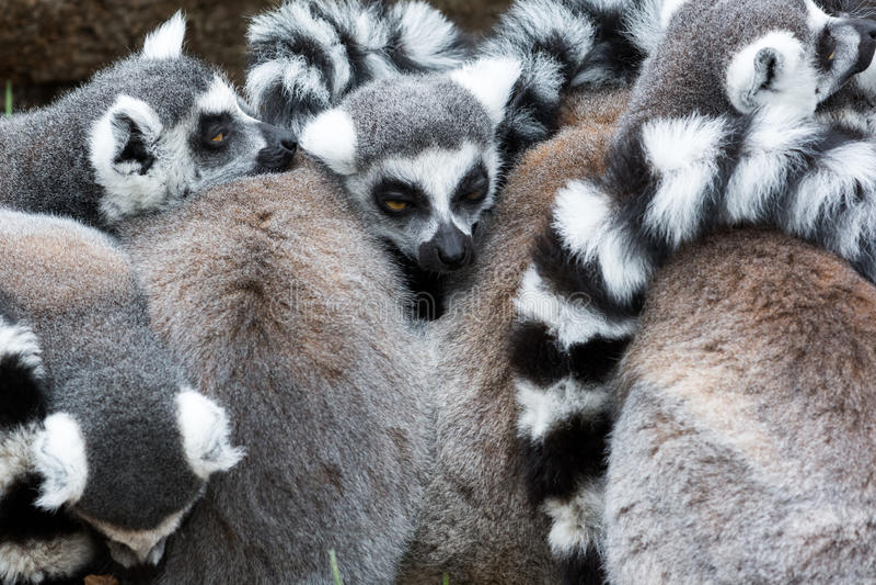 Groupe de lemurs ring-tailed photos libres de droits