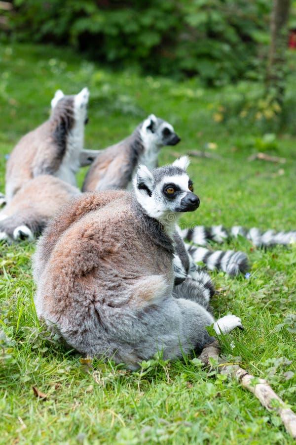 Groupe de lemurs ring-tailed image stock