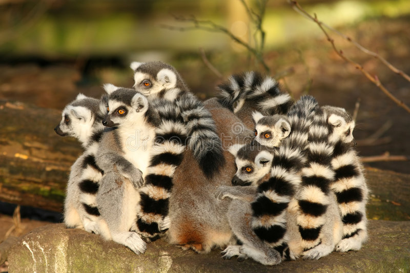 Groupe de lemurs ring-tailed se reposant étroitement ensemble image stock