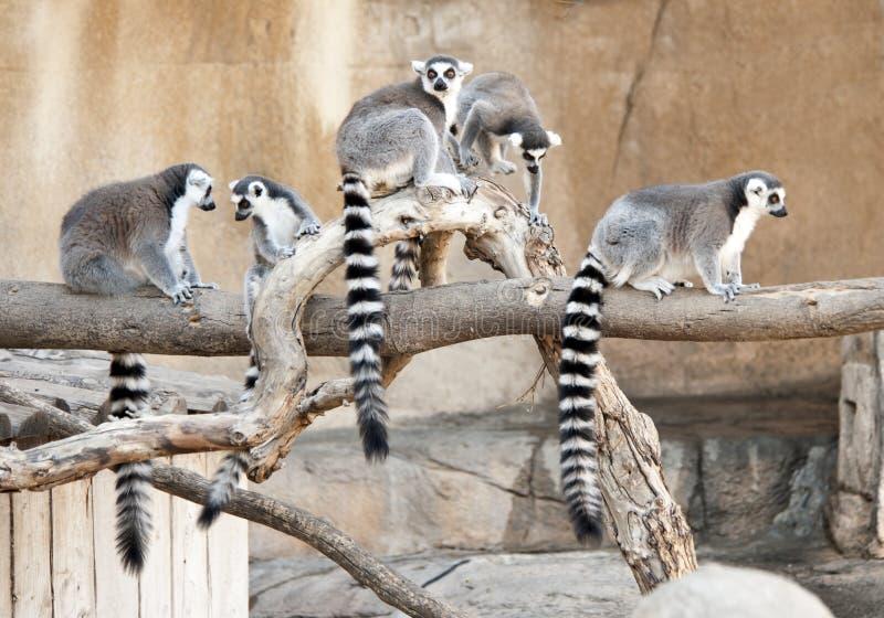 Groupe de Lemurs suivis par boucle photographie stock libre de droits