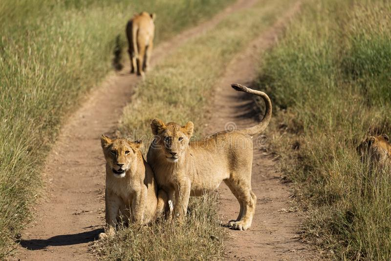 Groupe de lions dans la route du parc national de Serengeti, Tanzan photographie stock