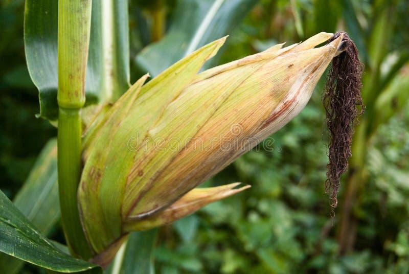 Groupe de maïs vert sur un champ avant récolte images libres de droits