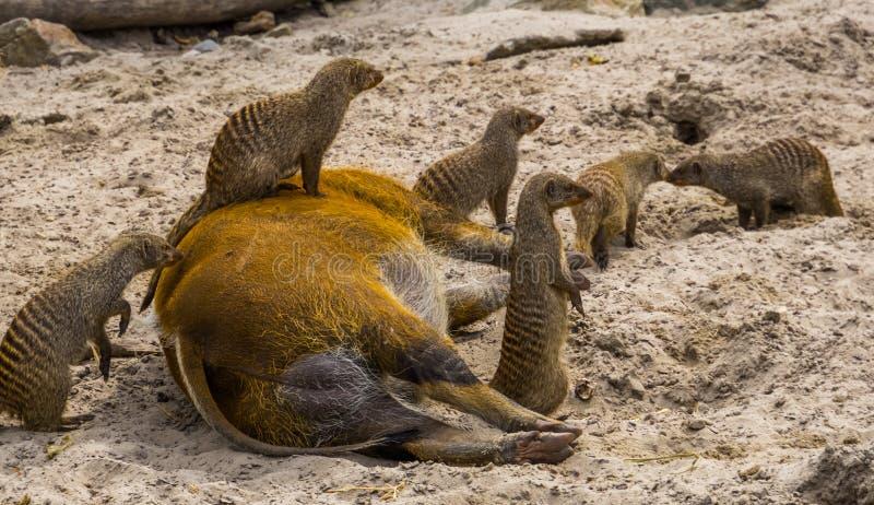 Groupe de mangoustes réunies avec on se reposant sur un porc de la rivière rouge, unité animale, comportements animaux drôles, an image stock