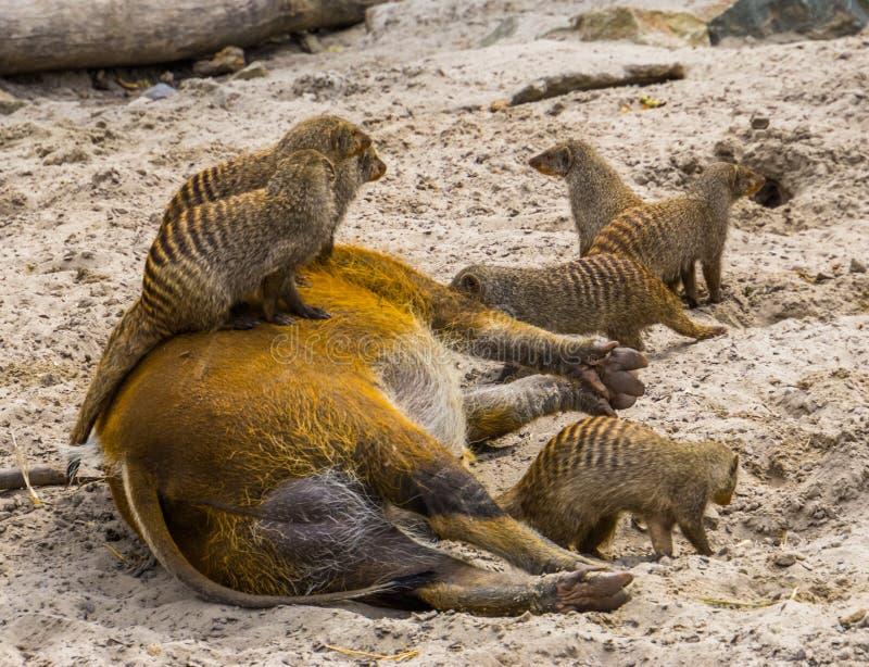 Groupe de mangoustes réunies se reposant sur des comportements animaux de porc de la rivière rouge, drôles et mignons photos stock