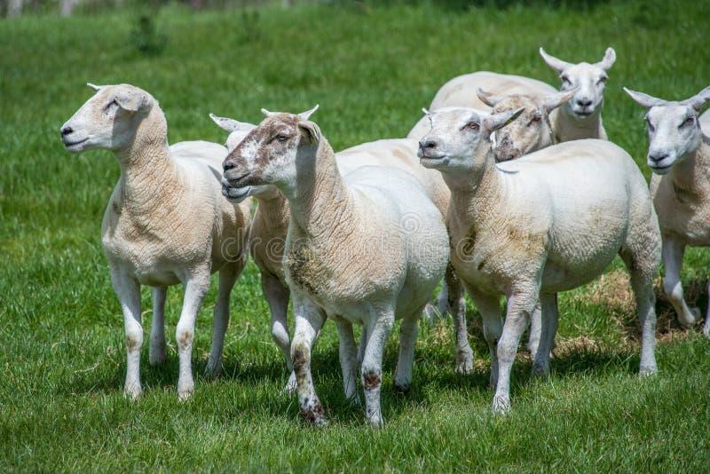 Groupe de moutons à une petite ferme photo libre de droits