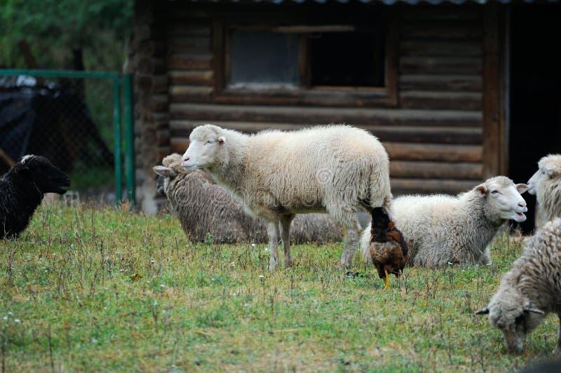 Download Groupe De Moutons Dans La Ferme Image stock - Image du domestique, nature: 87707833
