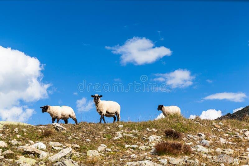 Groupe de moutons dans les alpes suisses photo libre de droits